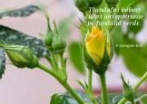trandafir galben5