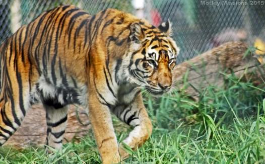 Tiger at Honolulu Zoo