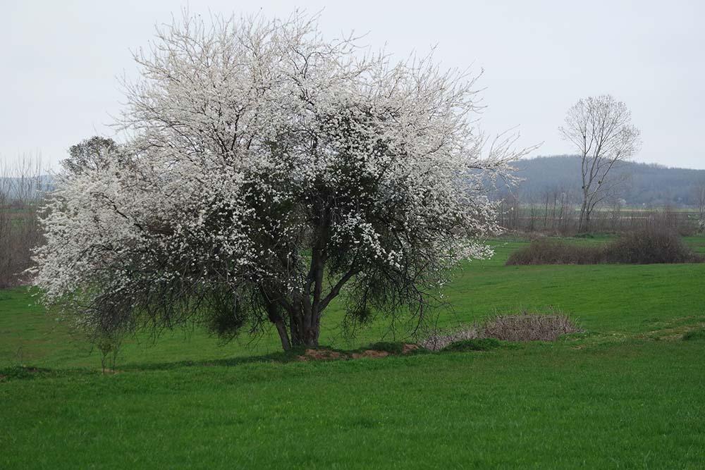 sakura in turkey