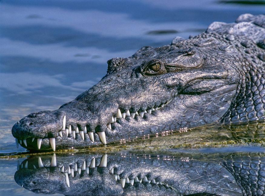 Черный кайман в воде - животные Амазонки