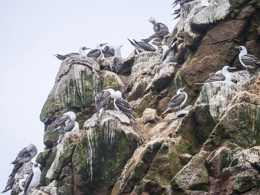 Олуши на скале в морском наиональном парке Паракас в Перу