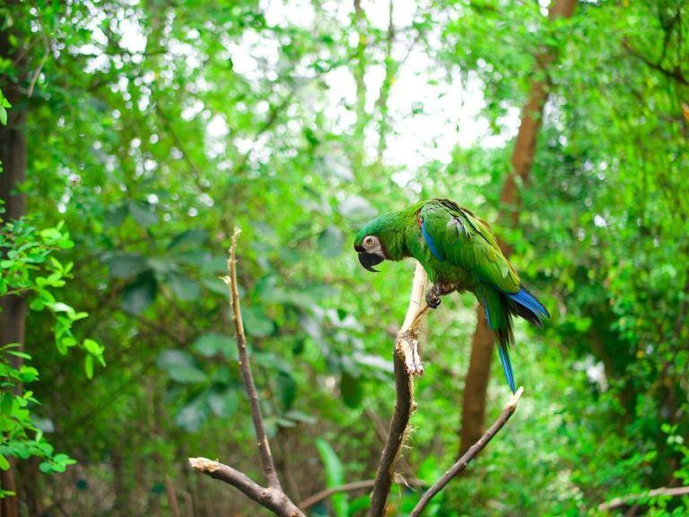 Зеленый попугай амазон в дикой природе