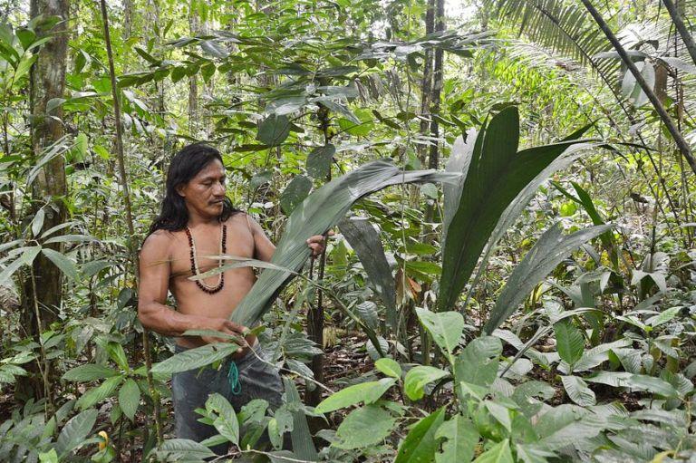 Индеец гуарани в джунглях собирает банановые листья