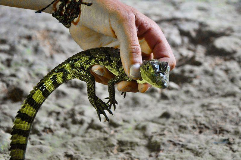 Детеныйшкрокодила