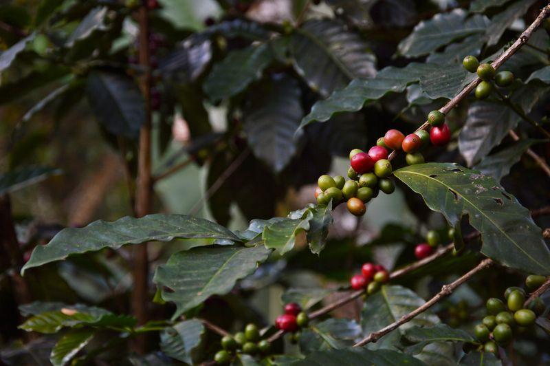 Зеленые ягоды кофе