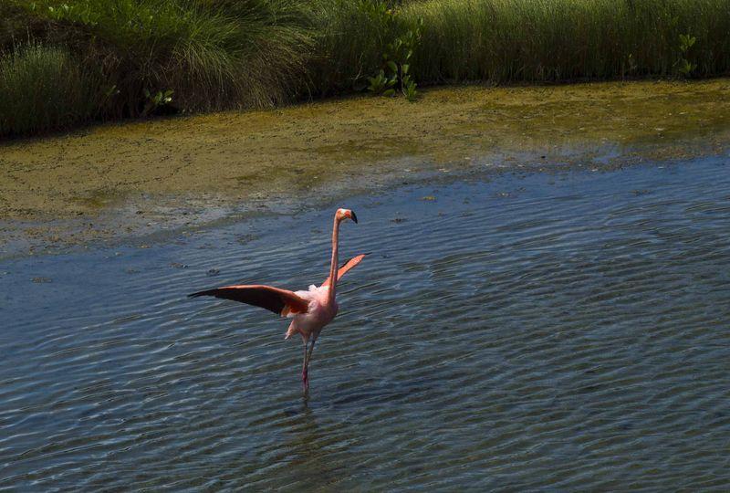 Фламинго животные Галапагосских островов