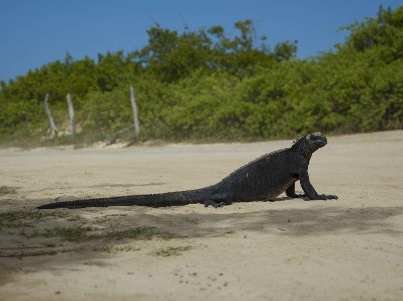 Морская игуана на пляже