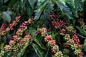 Куст кофейного дерева