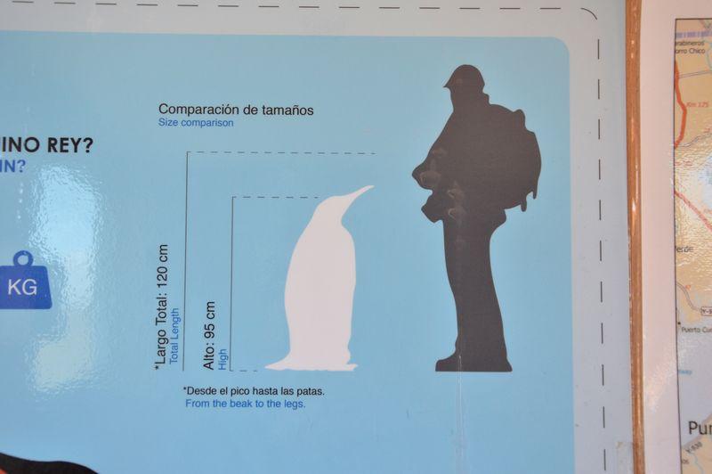 Сравнение роста королевского пингвина и человека
