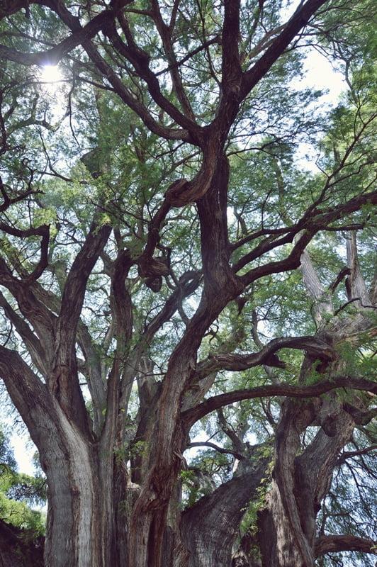 Крона дерева в Туле