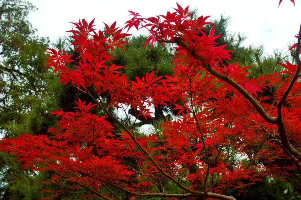 Красный клен осенью