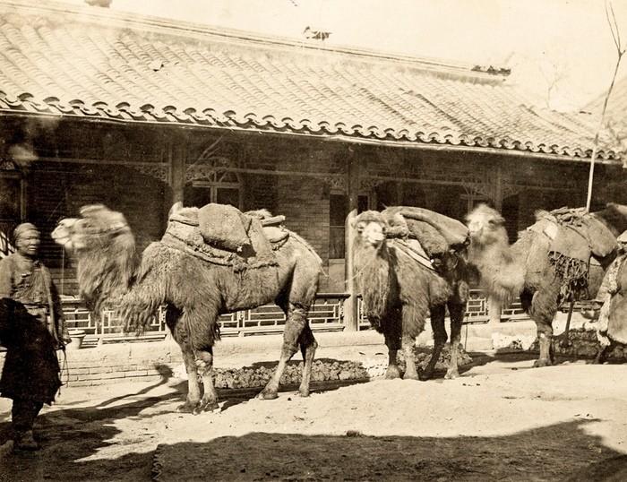 Верблюды на улицах Пекина
