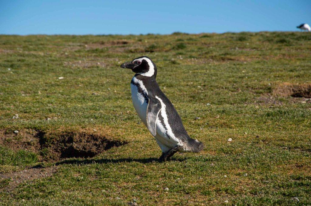 Пингвин магеллана