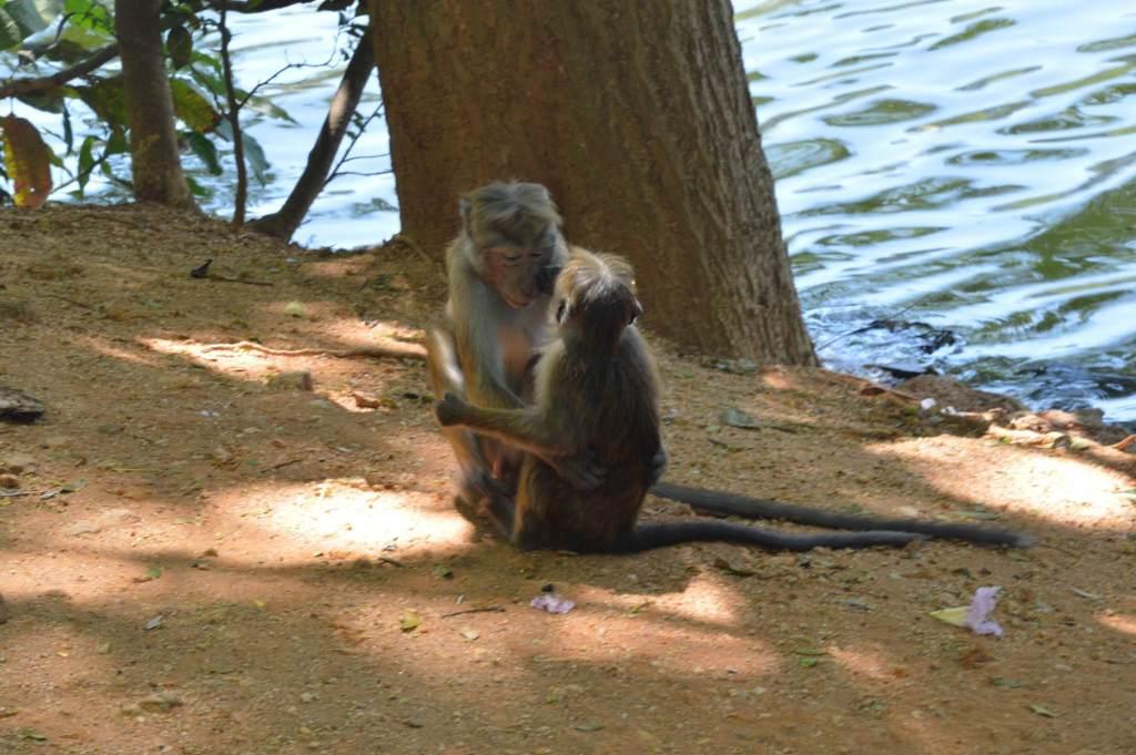 обезьяны обнимаются