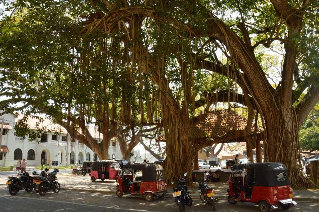 Раскидистое дерево и парковка тук туков в Азии