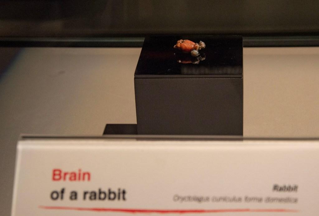 Мозг зайца
