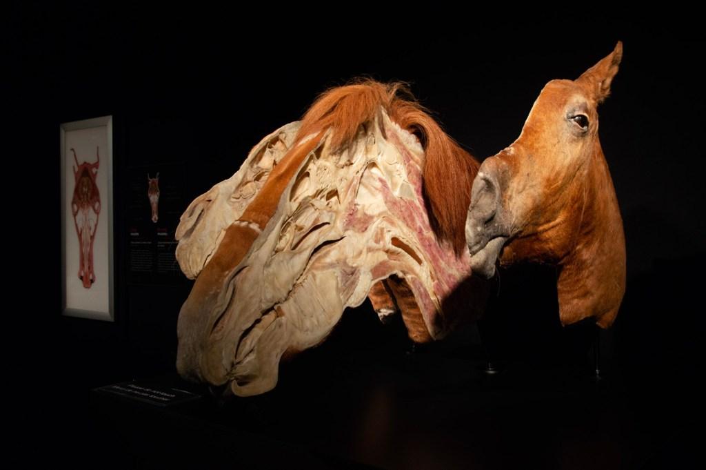 Конь - анатомия