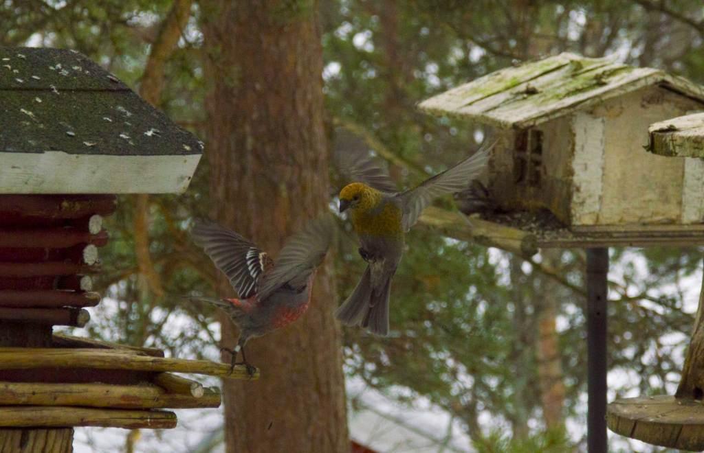 Наблюдение за птицами в Лапландии