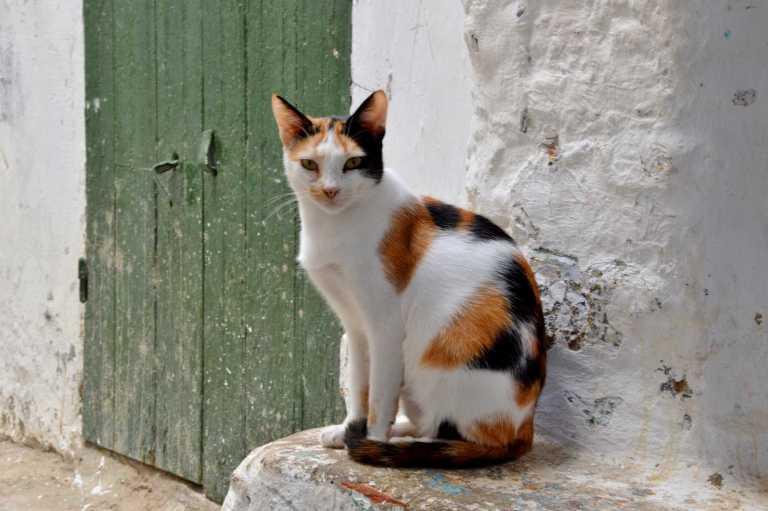 белая с рыжим кошка
