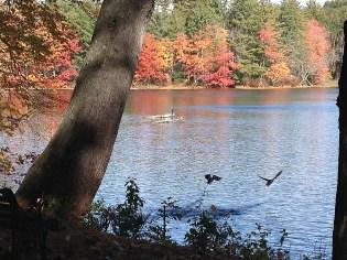 Herron and ducks on pond