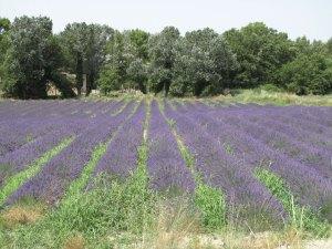 Lavendelfeld in der Drome provencale