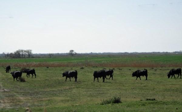 Wilde Stiere im Naturpark Camargue auf der Weide, beobachtet auf einer Motorradtour durch Provence und Camargue
