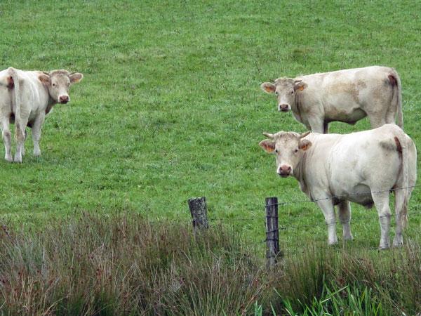 Drei weiße Charolais-Kühe, die den Betrachter neugierig anschauen