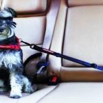 peiteira-coleira-peitoral-04 Cachorro No Carro: Como Transportar Seu Cão?