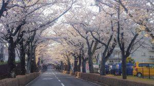 桜のトンネル今日