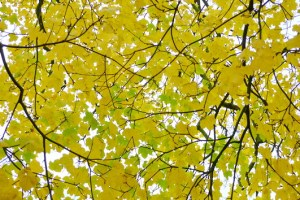 Yellow maple leaves with a few thin black branches against a light-coloured sky