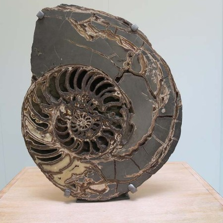 Ammonite fossil cross-section