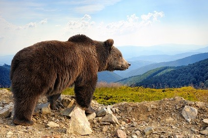 The Bear Is On The Prowl As Stocks Reach Overbought Levels