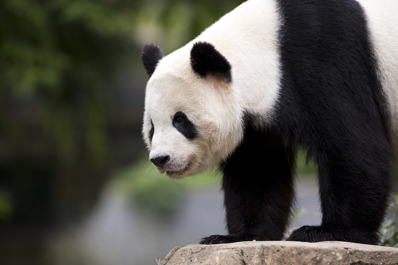 Bao Bao Leaves the National Zoo, Flies to New Home in China