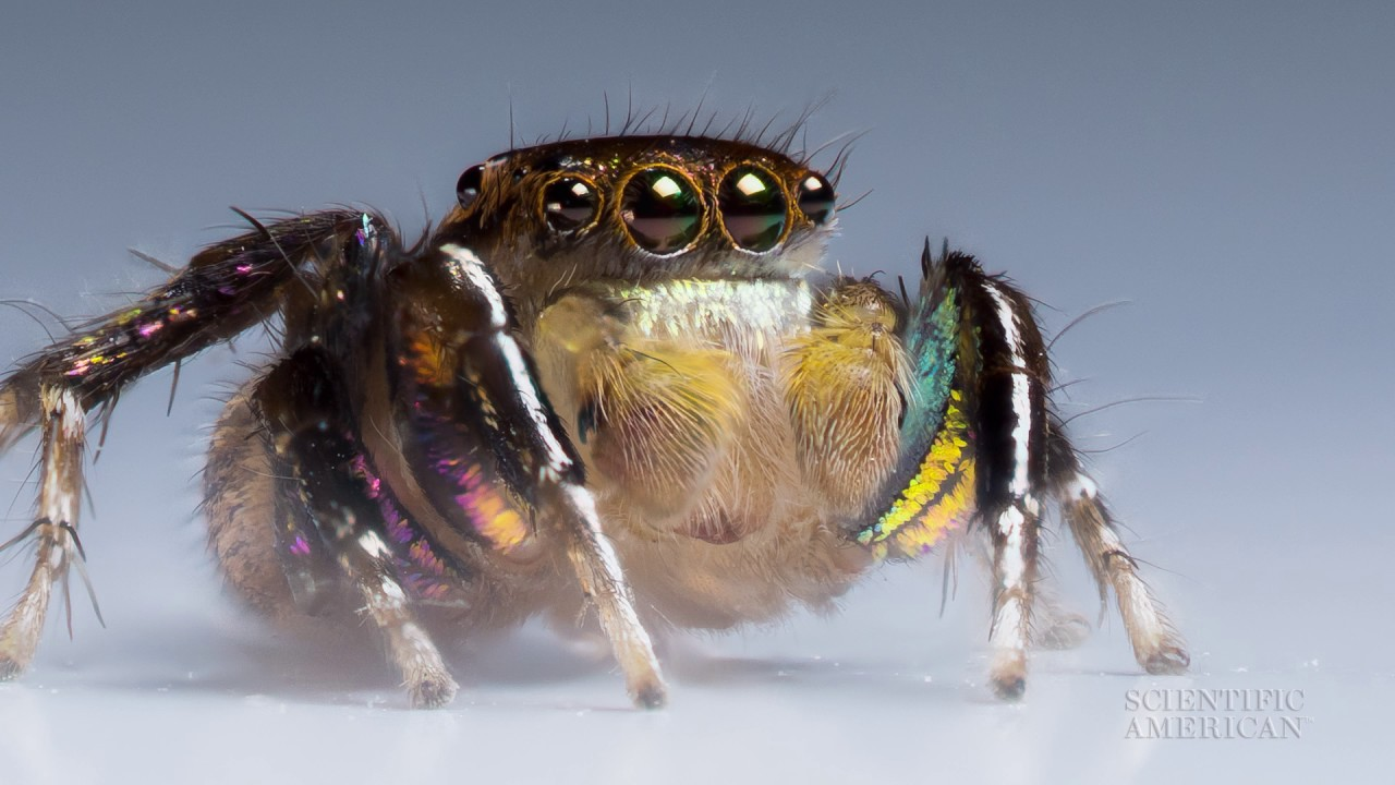 [VIDEO] Jumping Spiders See with Rose-Colored Glasses