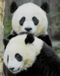 osos_panda