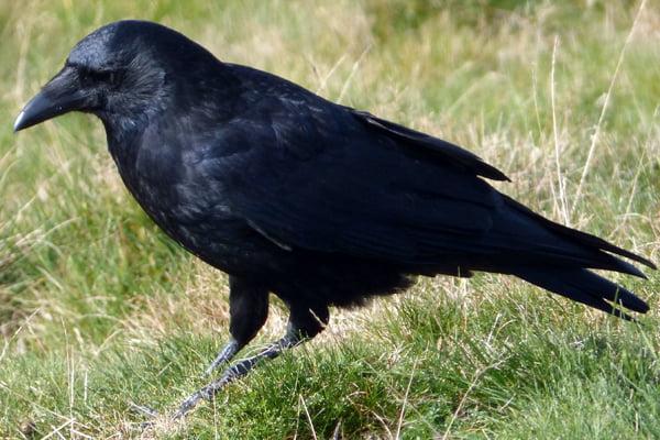 Corvus-corone