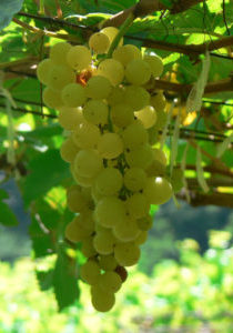 Grape-Chenin