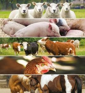 Clôtures électriques et élevage