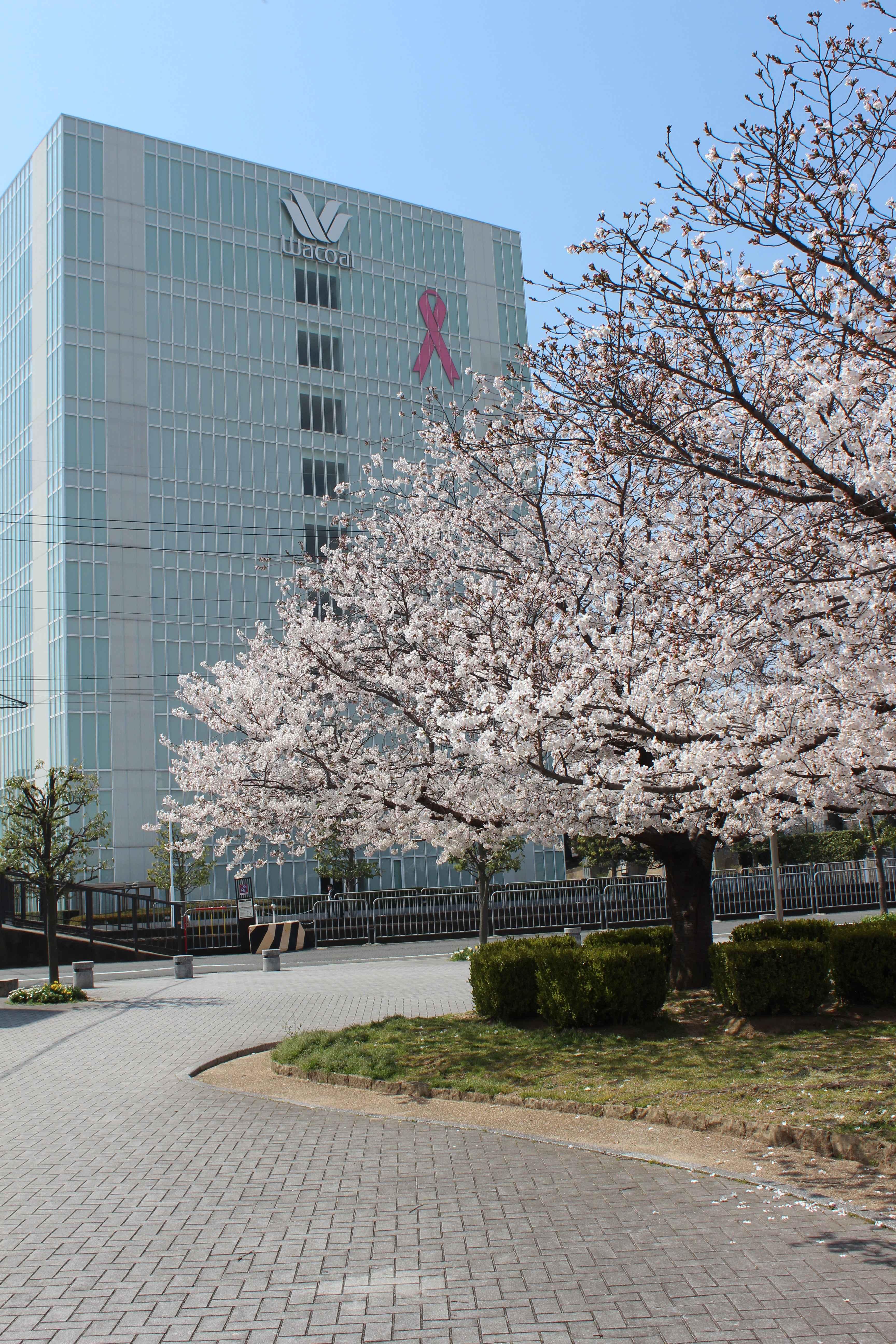 ワコール本社 桜