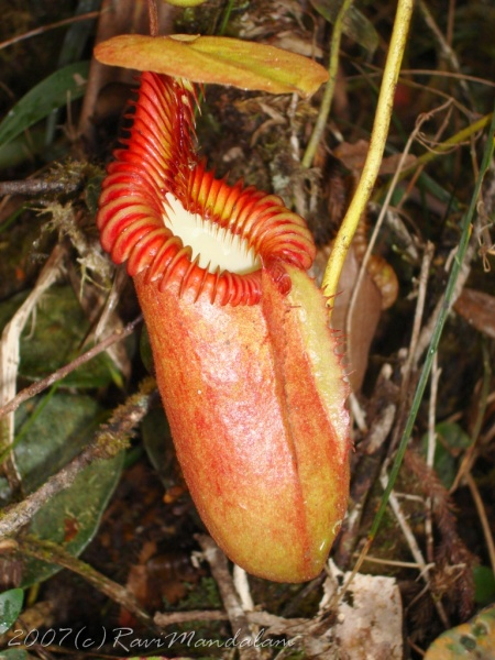 Nephentes villosa - you can see it during your hike at Kinabalu