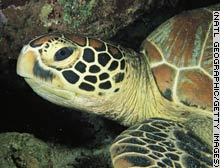 Female hawksbill turtles make about 1,000 nests in Malaysia each year