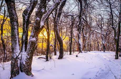 snowy trees at sunset