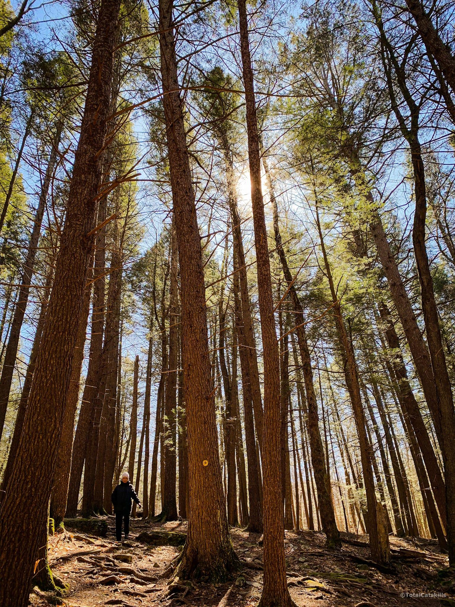 mature catskills forest