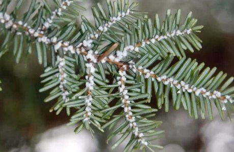 hwa lice on hemlock