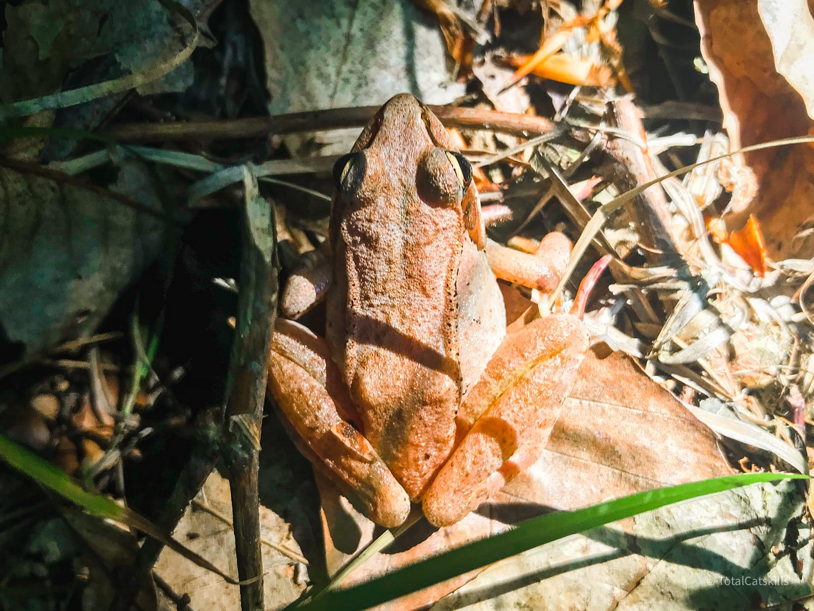 wood frog among grass and dried foliage