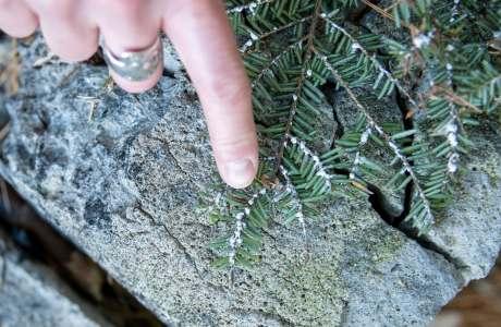 finger pointing to hwa infestation