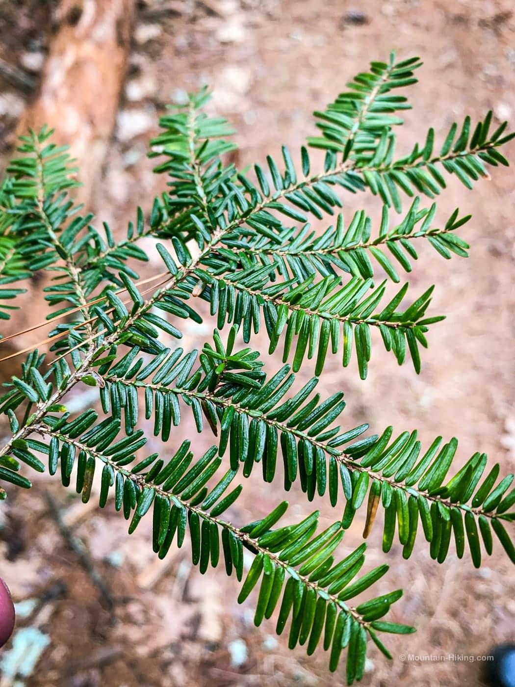 preparing to brew pine needle tea: identify hemlock needles