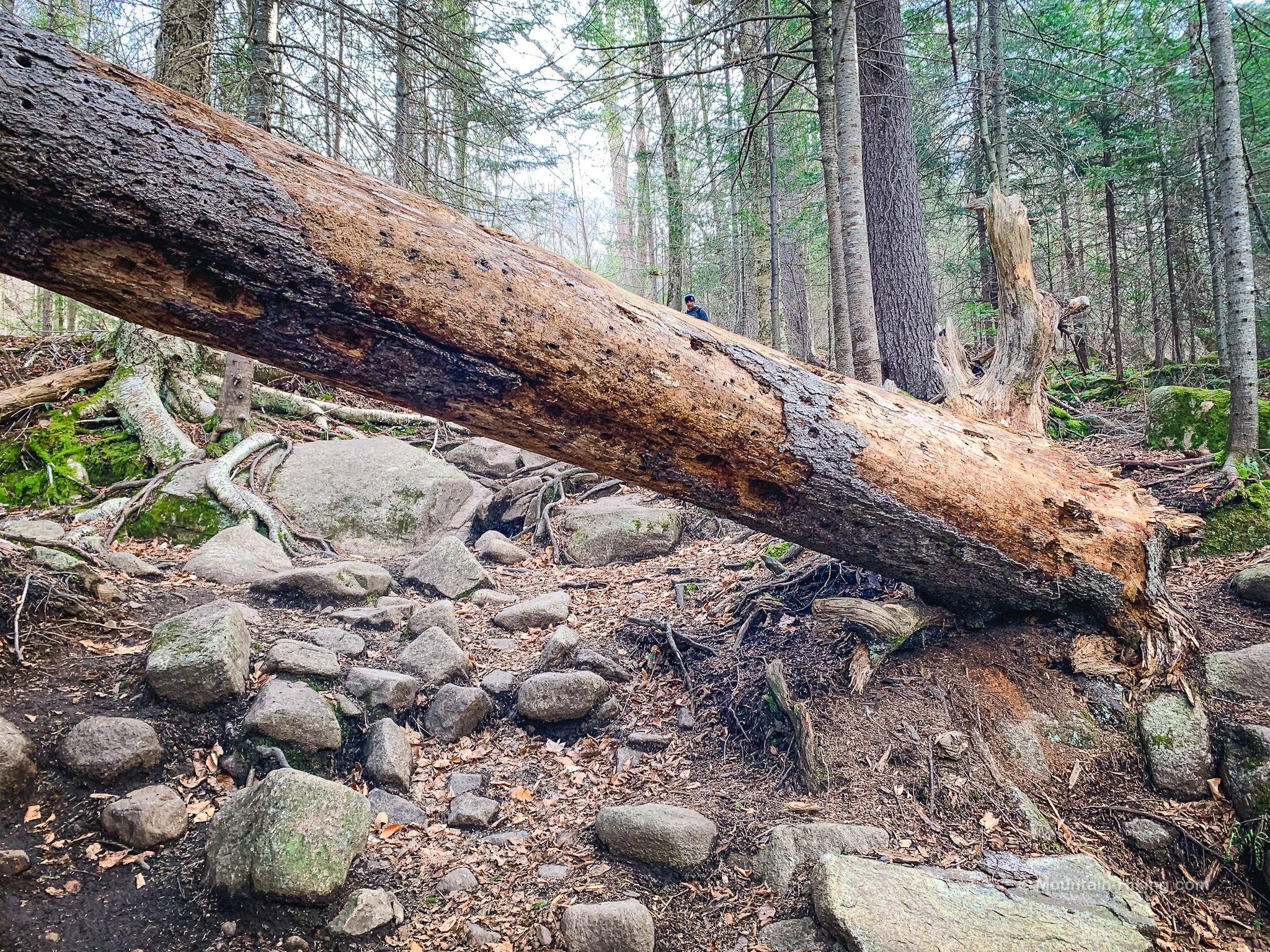 blowdown across trail