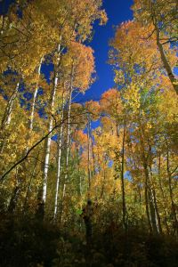 Gold Leaves in September in Summit County