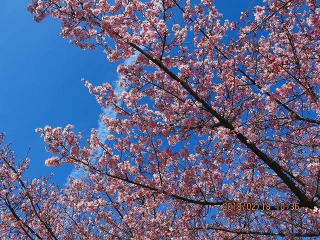 三浦アルプス散策【桜が見頃2月の三浦海岸】